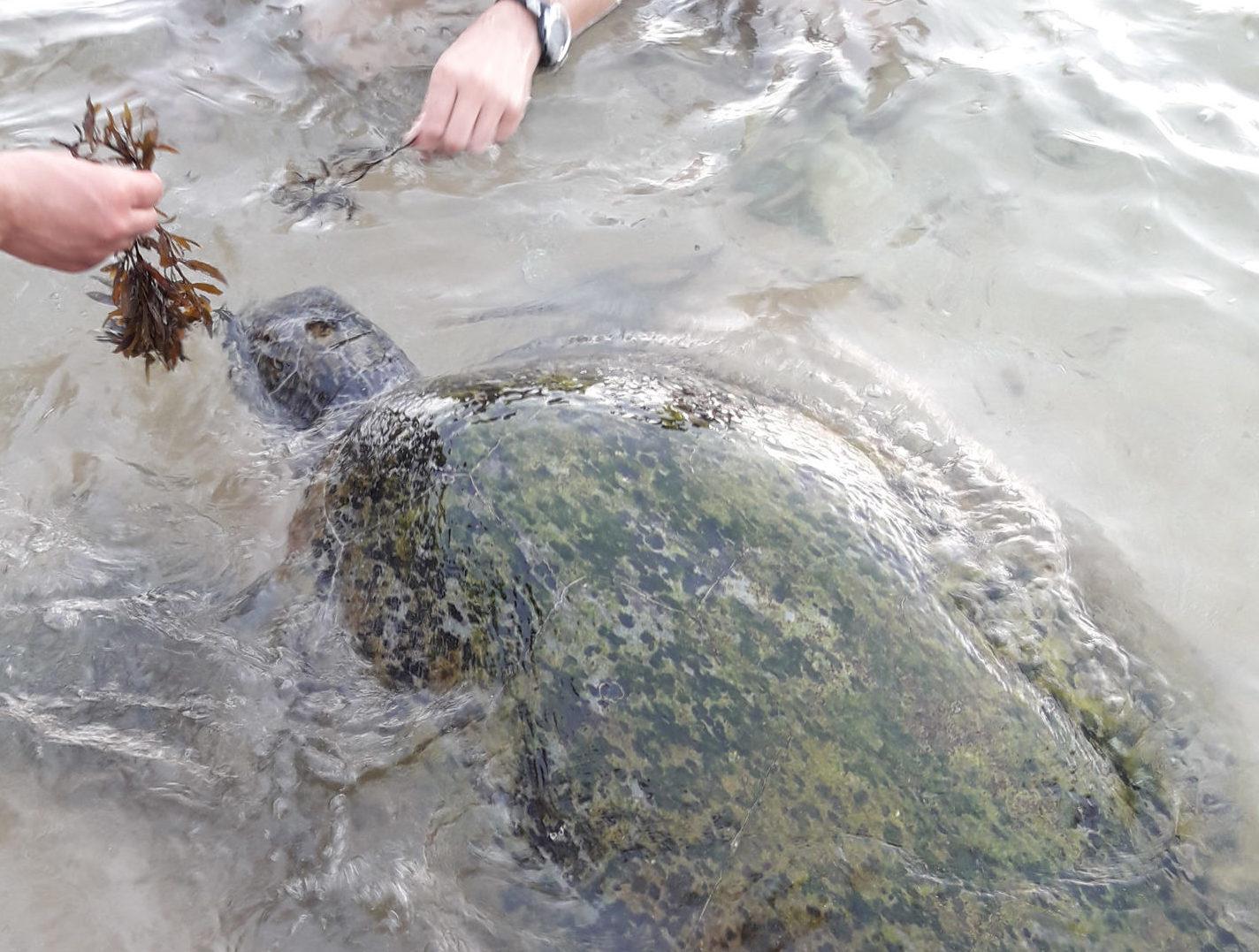 Черепаха в море.