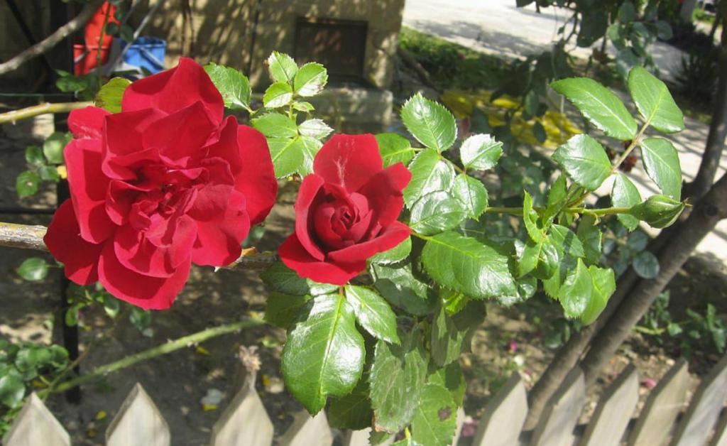 розы Гейнюк Турция