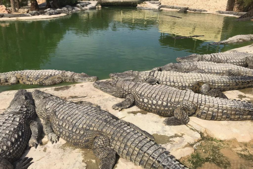Зарзис крокодиловая ферма