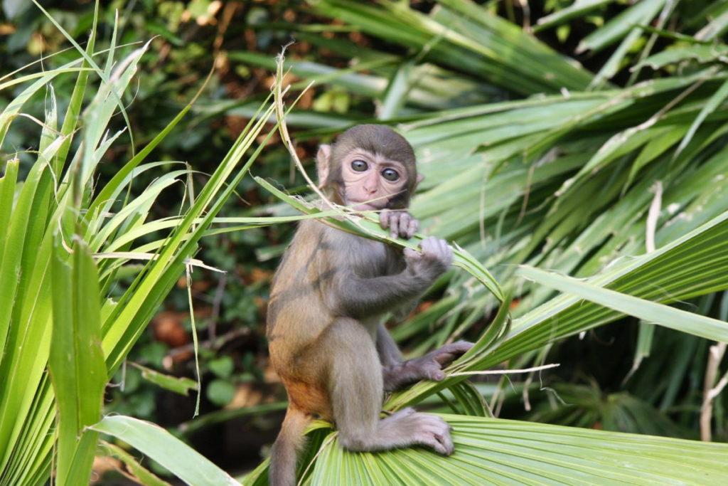 хайнань остров обезьян