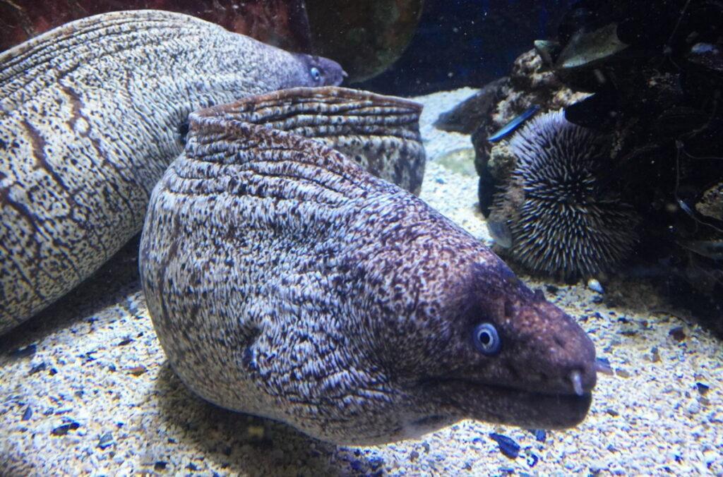 Пиран аквариум